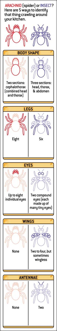 People sometimes assume that spiders are insects. But in fact, they are relatives of insects. They are part of a group called arachnids (uh- RACK-nidz). Other arachnids include scorpions, ticks, mites, and harvestmen. Good for compare/contrast at school. Preschool Science, Elementary Science, Science Classroom, Teaching Science, Science For Kids, Science Activities, Science Projects, Science Experiments, Science Lessons