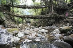 Living Bridges. The living bridges of Cherrapunji, India are made from the roots of the Ficus elastica tree. This tree produces a series of secondary roots from higher up its trunk and can comfortably perch atop huge boulders along the riverbanks, or even in the middle of the rivers themselves.