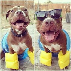 """In case you are having a bad day, here is a picture of a pit bull wearing water wings and sunglasses."" I LOVE PITBULLS 😍 they're so cute and sweet ❤️ Cute Puppies, Cute Dogs, Dogs And Puppies, Doggies, Adorable Babies, Funny Dogs, Funny Animals, Cute Animals, Funny Babies"