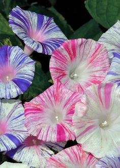 Striped Morning Glory (Ipomoea Carnevale de Venezia) love these even tho they are considered a weed! Flowers Nature, Exotic Flowers, Amazing Flowers, My Flower, Flower Power, Beautiful Flowers, Morning Glory Flowers, Dream Garden, Garden Plants