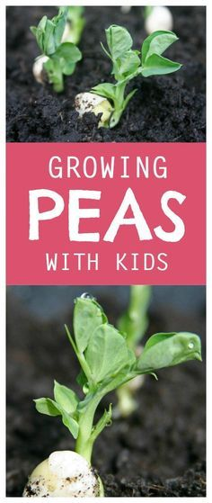 Growing peas with kids