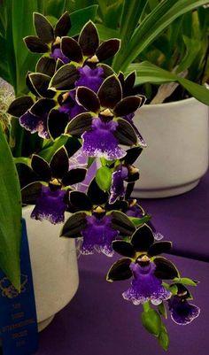 "Zygopetalum orchids ""Bluebirds"""