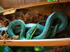 Rhynchophis boulengeri http://serpents.gentilcopain.com/index.php?post/2013/03/05/Rhynchophis-Boulengeri2