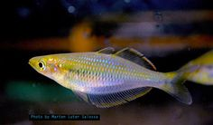 The yellow rainbowfish from Teminabuan, West Papua According to Heiko Bleher this fish will be coming soon on the journal of ichthyologist Just check it out on my video in the tank and compare with the video in nature https://youtu.be/HGE4rM-V2XE