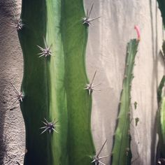 Barbed-wire cactus, Acanthocereus tetragonus. What is your favorite cactus to photograph up close? #cactuscloseup