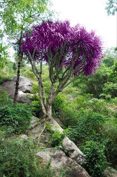 Kaweesakov dračí strom sa vo voľnej prírode prirodzene vyskytuje len v jedinej časti sveta Plants, Flora, Plant, Planting