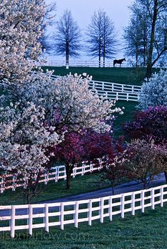 A lone thoroughbred stallion stands at the edge of the pasture viewing other horses in nearby pastures of a bluegrass horse farm near Keeneland Race Course, Lexington, Kentucky. The allure of the Bluegrass Region is partly because of it's picturesque backdrop–almost designed to perfection like a movie set. Flowering crab apple and blossoms from cherry trees burst with spring colors along the white fences on Manchester Farm