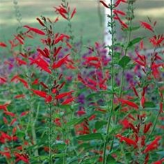 Salvia elegans    Pineapple Sage is a hummingbird's delight!  Herb gardening with this gorgeous plant grows profuse, bright red tubular flowers that hummingbirds cannot resist. The bruised leaves of Pineapple Sage give off a terrifically tropical scent--this wonderful aromatic herb gives your garden an added punch!