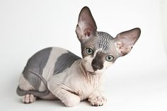 #hairless #sphynx #cat #kitten