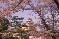 Cerezos en flor , Japon
