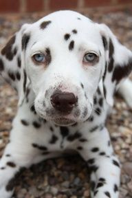 Reminds me of my dalmation, Twinkie! RIP<3