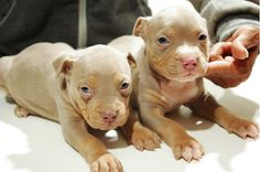 Purple Tri Pitbull Puppies