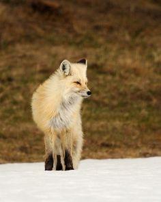 Red Fox by Cody Hoagland