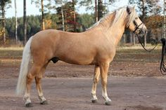 Preussi, palomino colored finnhorse stallion