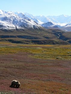 Grizzly Bear in Denali, fall colors by B Mully