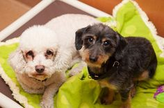DINO & CARNELO~Dino & Carnelo are looking for a forever home TOGETHER. Sadly, they were left when a family member got cancer. Dino Daschund 3-yrs14 lbs wire haired. Carnello Poodle 4-yrs 25 lbs trying to slim down. Both are laid-back, affectionate, love people. Both dogs are in excellent health, neutered UTD shots chipped will even receive a free dental cleaning with adoption. Visit PAWS Chicago 1997 N. Clybourn, EMAIL: adoptions@pawschicago.org, CALL:773 935-7297 PLEASE SAVE OUR…