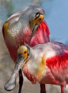 Roseate Spoonbill (Platalea Ajaja) We were also in the flight path of these birds, both winter & spring. Could hear them coming before we could see them. Pretty Birds, Beautiful Birds, Animals Beautiful, Exotic Birds, Colorful Birds, All Birds, Love Birds, Weird Birds, Angry Birds