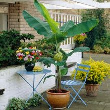 Get Fresh Bananas- Anywhere in the Country! the cold-hardy Dwarf Cavendish Banana Tree gives you plenty of tropical fruit, anywhere in the country! Banana trees are known for adding a tropical feel in any landscape. However, most people Patio Plants, Indoor Plants, House Plants, Grow Banana Tree, Thuja Green Giant, How To Grow Bananas, Potager Bio, Avocado Tree, Banana Plants