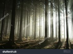 Sunbeams entering coniferous stand on a misty autumnal morning.