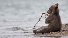 "Italian photographer Marco Urso won a special mention in the Wildlife & Nature category for this image of a young bear in Kamchatka, eastern Russia. ""The young cubs like to play,"" Urso says. ""This one was having fun with a small stick. After biting it, he relaxed for a few seconds, looking like a little fisherman."" (Marco Urso/www.tpoty.com)"