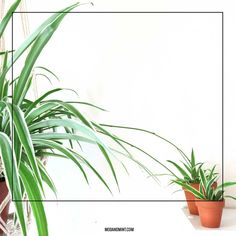 3 Ways to Propagate your Spider Plant Babies | Click to read more at modandmint.com | #spiderplant #houseplants #urbanjungle