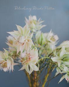 blushing bride protea