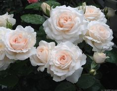 Photo of the rose 'Miss Dior' Pretty Roses, Beautiful Roses, Flowers Nature, Pink Flowers, Flowers Garden, Exotic Flowers, Yellow Roses, Pink Roses, Rose Foto