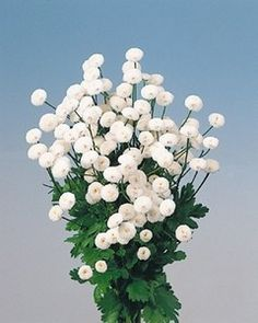 Pase Seeds - Tanacetum Matricaria Types Parthenium White Star Seed, $3.29 (http://www.paseseeds.com/tanacetum-matricaria-types-parthenium-white-star-seed/)