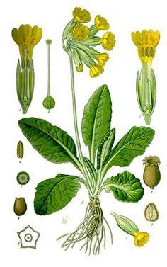 http://upload.wikimedia.org/wikipedia/commons/a/a6/Illustration_Primula_veris0_clean.jpg