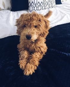 Goldendoodle puppy on the bed Cute Puppies, Cute Dogs, Dogs And Puppies, Doggies, Animals And Pets, Baby Animals, Cute Animals, Yorkshire Terrier Puppies, Mundo Animal