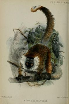 Lemur, Proceedings of the Zoological Society of London, 1862.