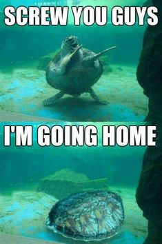 15 Hilarious Turtle Memes - World's largest collection of cat memes and other animals Funny Animal Jokes, Cute Funny Animals, Funny Animal Pictures, Funny Cute, Funny Jokes, Funny Fails, Animal Humor, Animal Pics, Funny Images