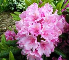 R. 'Haaga'  - Blooms late in season, grows 5 ft in 10 years, hardy to -20 F, upright growth habit.