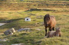 Horses, stallion and foal, Sandoy island, Faroe Islands, Denmark