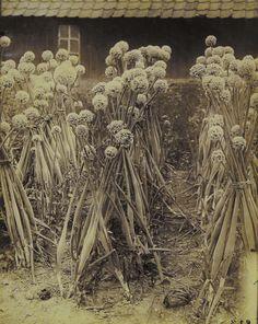 Eugène Atget (French, 1857-1927). Onions. c. 1900.