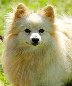 Full Pomeranian