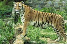 Wild Animal Jigsaw Puzzles: Tiger Jigsaw Puzzle