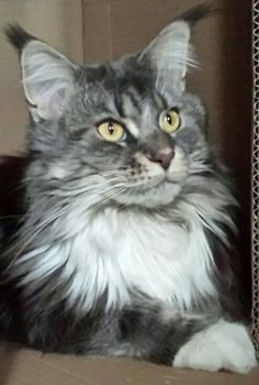 Maine Coon beautiful...