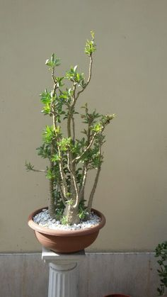 Pachypodium saundersii