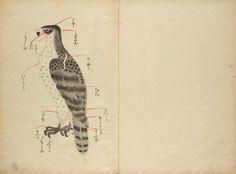 """Falconry illustrated"" 36. 鷹繪圖 Takaezu Jimyoin Motoharu Japan, 1328-1709"