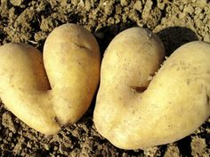 Een dag in het spoor van: de aardappeloogst www.veldverkenners.be