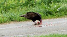 scavenger Turkey Buzzard