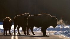 More wild buffalo have been slaughtered in the U.S. in the past ten years than at any time in the last century.  This may surprise most Americans, who think of the buffalo massacre that took place in the 19th century as a closed chapter in our history. But it is not.   Right now, Yellowstone National Park is carrying out plans to kill roughly 1,000 more wild bison for exactly the same reasons our forefathers exterminated them 150 years ago -- to protect the lucrative cattle industry. B...