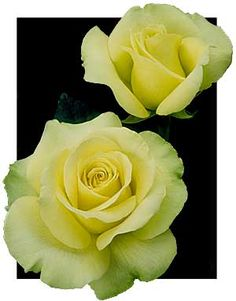 St. Patrick Tea Rose. This rose is a yellow green color. I love the form of this one. I have lost a few of these over various winters, but it is so beautiful that I keep replacing it.