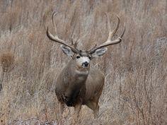 Big 6 X 7 Mule Deer Buck