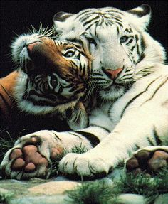 Image detail for -big cats - The Animal Kingdom Wallpaper - Fanpop fanclubs Animals And Pets, Baby Animals, Funny Animals, Cute Animals, Wild Animals, Beautiful Cats, Animals Beautiful, Beautiful Babies, Beautiful Couple