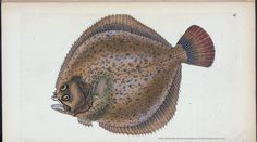 The natural history of British fishes : including scientific and general descriptions of the most interesting species, and an extensive selection of accurately finished coloured plates. (1802-1808) Nature Illustrations, Illustration Art, Vintage Drawing, Marine Biology, Sea Fish, New York Public Library, Fish Art, Whales, Marine Life