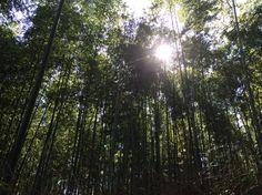 Bamboo Forest, Arashiyama