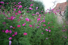 Cosmos at Dixter..