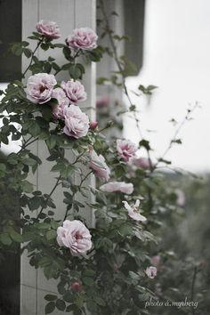 Klätterros - Gerbe Rose   @my casa